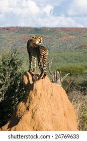 Cheetah (acinonyx jubatus) standing on Termite Mound, Namibia