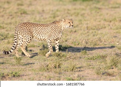 Cheetah (Acinonyx jubatus) walking on savanna, searching for prey, Ngorongoro conservation area, Tanzania.