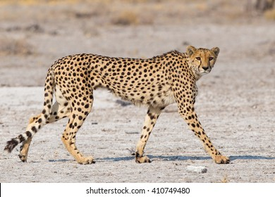 Cheetah (Acinonyx jubatus) walking on the Etosha Pan, Namibia
