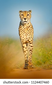 Cheetah, Acinonyx jubatus, walking wild cat. Fastest mammal on the land, Botswana, Africa. Cheetah on gravel road, face to face portrait. Spotted wild cat in nature habitat, Okavango delta