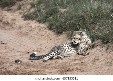 Cheetah, Addo Elephant National Park, Eastern Cape, South Africa