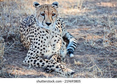 Cheetah in African Bush