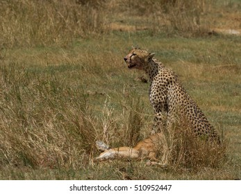 A Cheetah is alert as it sits over its prey in the Serengeti.