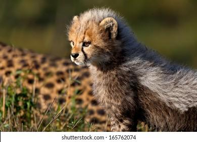 Cheetah baby, seven weeks, in Masai Mara, Kenya