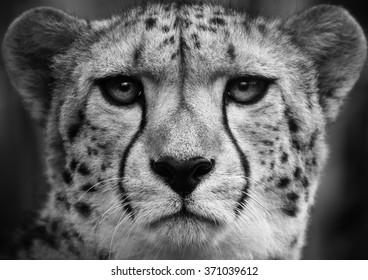 Cheetah  .Black and white head shot of a adult cat .