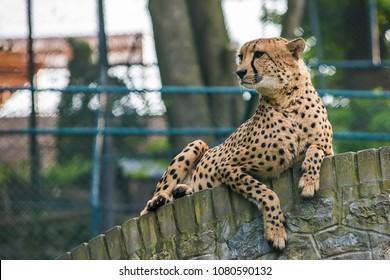 cheetah in captivity