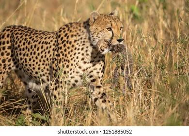 Cheetah is carrying its cub