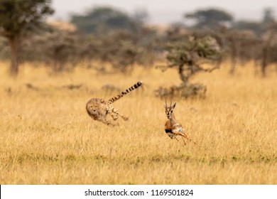 Cheetah chasing Thomson gazelle among whistling thorns