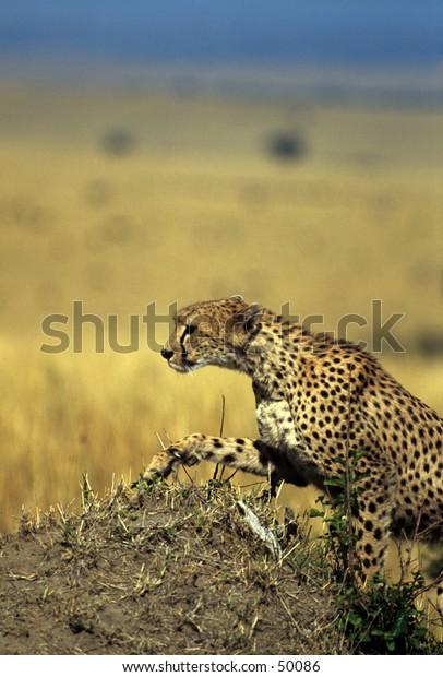cheetah climbing hill