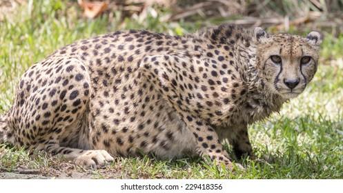 Cheetah crouching and staring