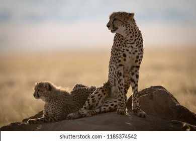 Cheetah and cub backlit on termite mound