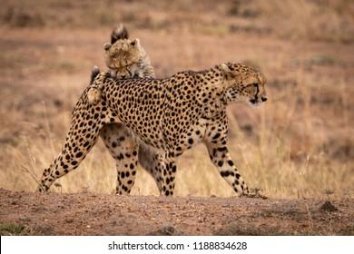 Cheetah cub bites mother on earth bank
