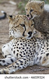Cheetah cub cleans mother of blood