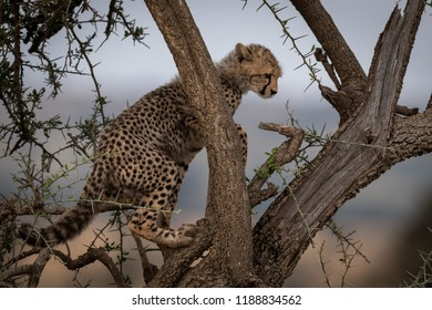 Cheetah cub climbs branch of thorn tree