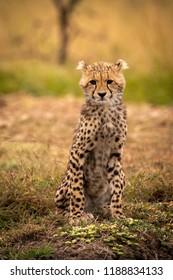 Cheetah cub facing camera sitting  on bank
