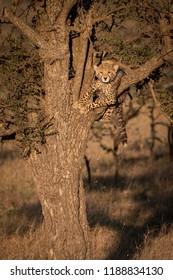 Cheetah cub facing camera from tree branch
