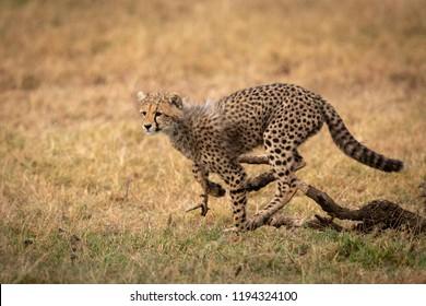 Cheetah cub jumping over log in grass