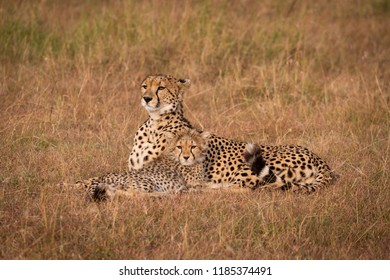 Cheetah and cub lie in grass together