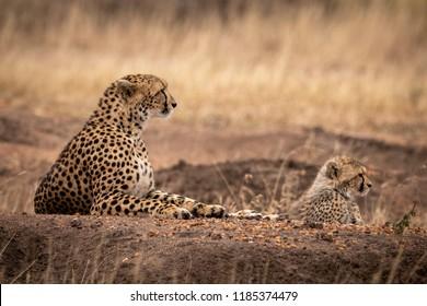 Cheetah and cub lie on dirt mound