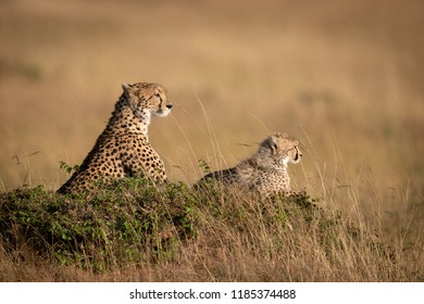 Cheetah and cub lie on grassy mound