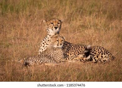 Cheetah and cub lie staring over grassland
