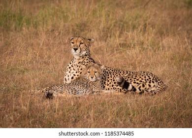 Cheetah and cub lie staring over savannah