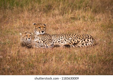 Cheetah and cub lie together looking right