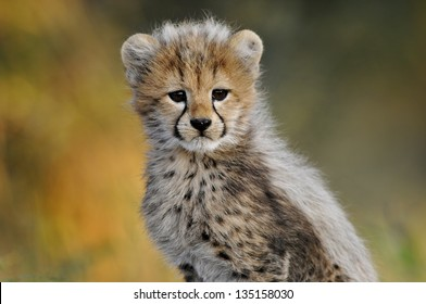 Cheetah cub looking at the camera