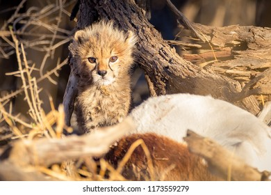 Cheetah Cub Looking While Playing