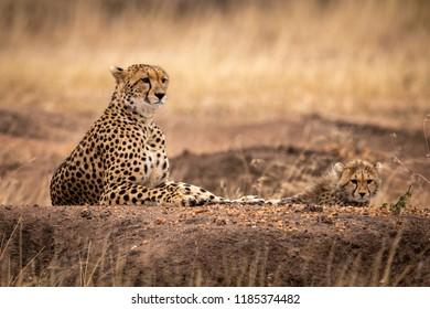 Cheetah and cub lying on dirt mound