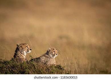 Cheetah and cub lying on grassy mound