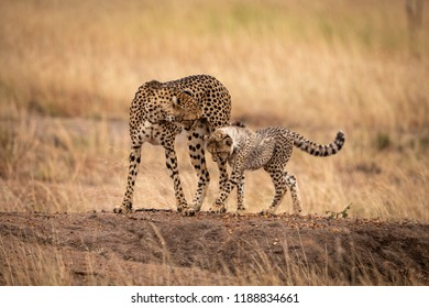 Cheetah cub and mother cross earth mound