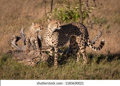 Cheetah and cub on log look right
