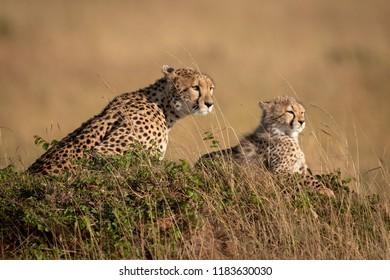 Cheetah and cub on mound in savannah