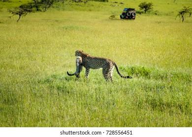 A cheetah and its cub on an unusually wet and green savannah