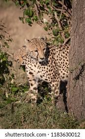 Cheetah and cub peek round tree trunk