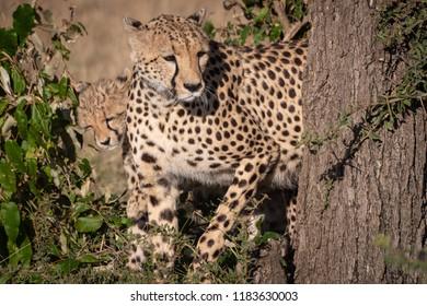Cheetah and cub peep round tree trunk