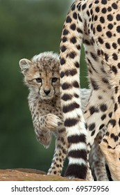 A Cheetah Cub peering from behind its Mothers tail