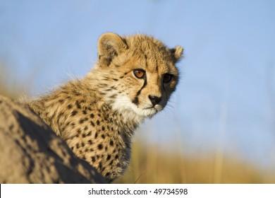 Cheetah cub peers behind ant hill