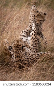 Cheetah and cub play fight in grass