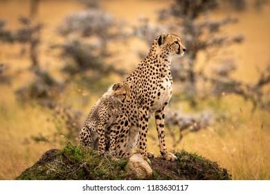 Cheetah and cub sit on grassy mound