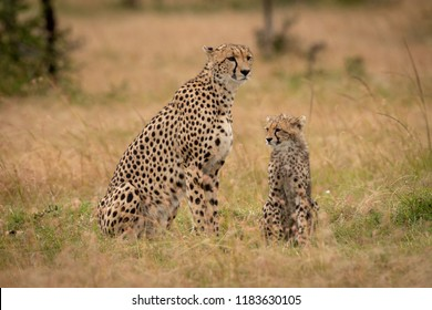 Cheetah and cub sit together in grass