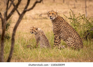 Cheetah and cub sitting in long grass