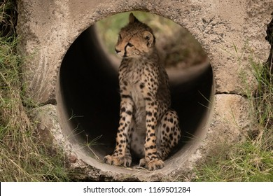 Cheetah cub sitting in pipe looking left