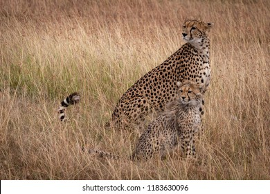 Cheetah and cub sitting in same position