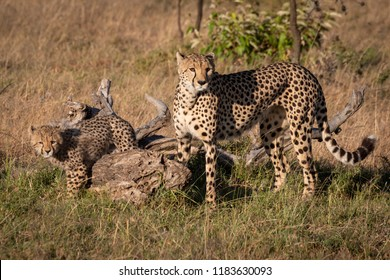 Cheetah and cub stand beside dead log