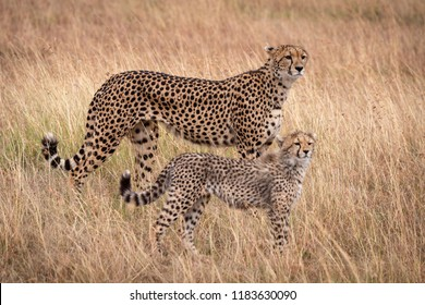 Cheetah and cub stand mirroring each other