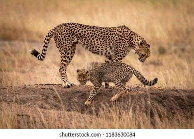 Cheetah and cub standing on earth mound