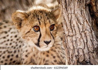 Cheetah cub in a tree in Namibia
