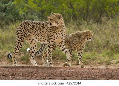 Cheetah and cub walking down the road.